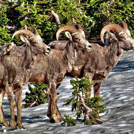 John Trommer - Big Horn Sheep 7