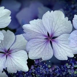 Patricia Strand - Big Leaf Hydrangea Closeup