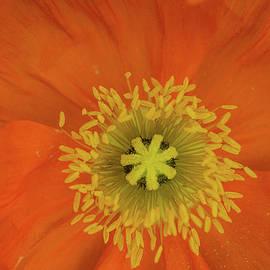 Linda Howes - Big Poppy