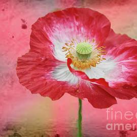 Valdis Veinbergs - Big red poppy 2