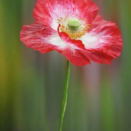 Valdis Veinbergs - Big red poppy 3