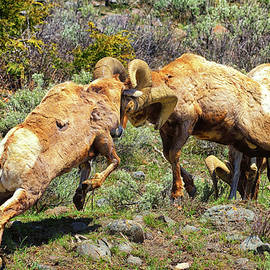 Bighorn Contact by Greg Norrell