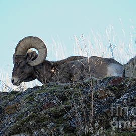Bighorn Sheep by Cindy Murphy - NightVisions