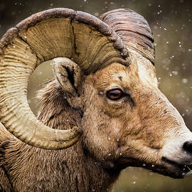 Bighorn Sheep In Winter by TL Mair