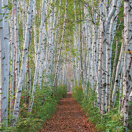 Chris Whiton - Birch Path