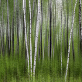 Patti Deters - Birch Tree Forest #5