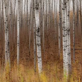 Patti Deters - Birch Trees Abstract #2