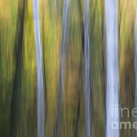 Birches in twilight by Elena Elisseeva