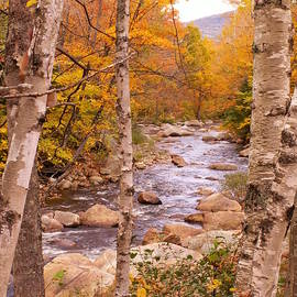 Nancy Griswold - Birches on the Kancamagus Highway
