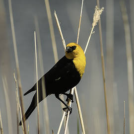 Carl Nielsen - Yellow headed blackbird