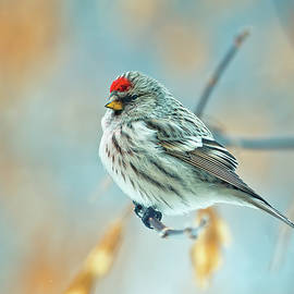 Oksana Ariskina - Bird Common Redpoll