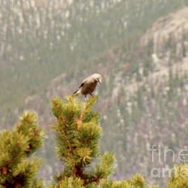 Mockingbird In Evergreen Tree at Rocky Mountains  by Ruth Housley