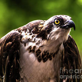 Birds Of Prey Sonoma County by Blake Webster