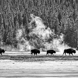 Stuart Litoff - Bison by the Thermal - Yellowstone