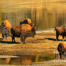 Adam Jewell - Bison Family Crossing