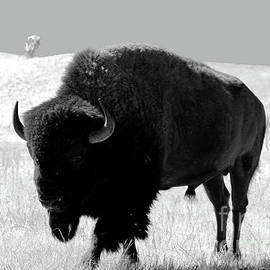 Bison On Open Range by Christiane Schulze Art And Photography