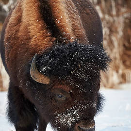 Jestephotography Ltd - Bison - Solitude