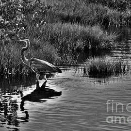 Black And White Great Blue Egret by Chuck Hicks