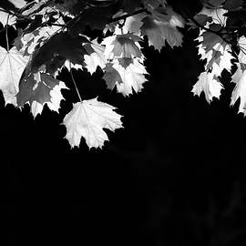 Dan Sproul - Black And White Backlit Leaves