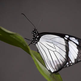 Penny Lisowski - Black and White Butterfly