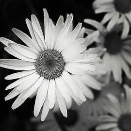 Alisha Jurgens - Black and White Daisy 1
