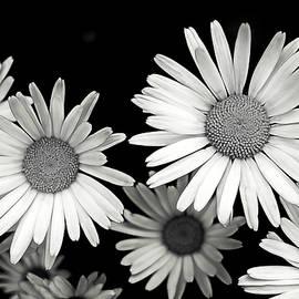 Alisha Jurgens - Black and White Daisy 2