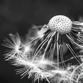Evgeny Drablenkov - Black and white Dandelion macro