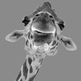 Black and White Giraffe Face by Stamp City