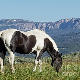 Kay Brewer - Black and White Horse Grazing in Wyoming