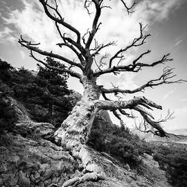 Aleksandr Matveev - Black and white huge lonely old tree