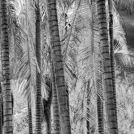 Randall Nyhof - Black and White Infrared Palm Trees at The Huntington Library