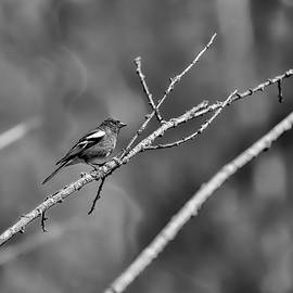 Leif Sohlman - Black and white Male Common chaffinch
