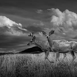 Black and White of Male Mule Deer with Velvet Antlers by Randall Nyhof