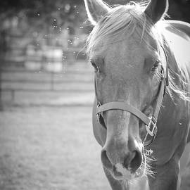 Black And White Portrait Of A Horse In The Sun by Kelly Hazel