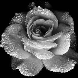 Lilia D - Black and white Rose 1
