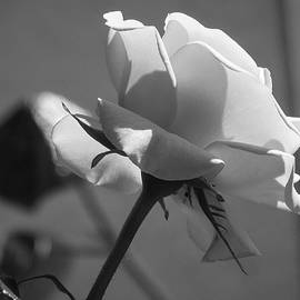 Cesar Vieira - Black and White Rose