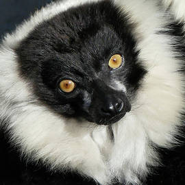 Black And White Ruffed Lemur Portrait by Margaret Saheed