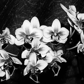 Phyllis Denton - Black and White Velvet