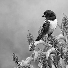 Black and White Wildlife Photography - Spotted Towhee by Ram Vasudev