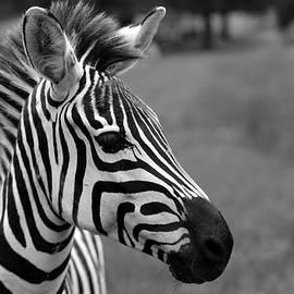 Stamp City - Black and White Zebra