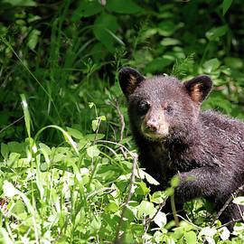 Black Bear Cub by Nicholas Blackwell