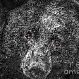 Mitch Shindelbower - Black Bear Portrait 3