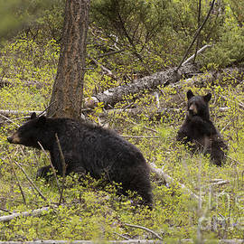 Mike Cavaroc - Black Bear Sow and Cub