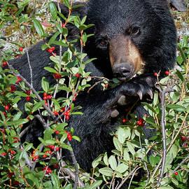 David Beebe - Black Bear vs Buffaloberries 1