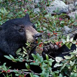 David Beebe - Black Bear vs Buffaloberries 2