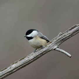 Todd Hostetter - Black Capped Chickadee 1