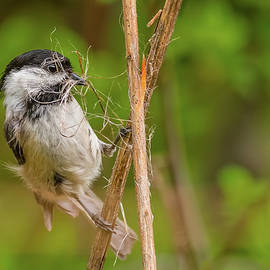 Black-Capped Chickadee Collecting Nesting by Morris Finkelstein