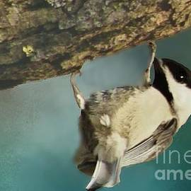 Janette Boyd - Black-Capped Chickadee Hanging in There