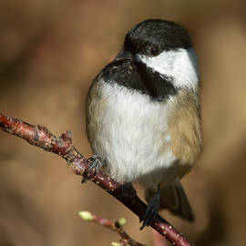 Ursula Salzmann - Black-Capped Chickadee
