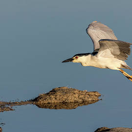 Thomas Young - Black-crowned Night Heron 2017-4